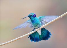 Foto beija-flor-de-orelha-violeta (Colibri serrirostris) por Luiz Ribenboim | Wiki Aves - A Enciclopédia das Aves do Brasil