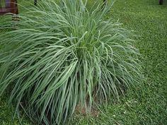 Presentamos a continuación cinco plantas que pueden ayudar a mantener nuestro jardín o patio libre de mosquitos.