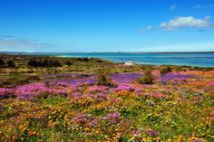 The Fairest Cape, Langebaan, South Africa Places To Travel, Places To Go, Flower Farm, Live, West Coast, South Africa, Fields, Followers, Maps