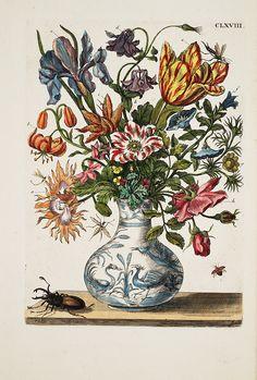 """Maria Sibylla Merian """"Raupen wunderbare Verwandelung und sonderbare Blumennahrung"""" , 1730."""