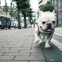 #ブル男 #bullo #フレンチブルドッグ #フレブル #フレンチブル #frenchbulldog #frenchie #instafrenchie #frenchiegram #fab_frenchies #favoritefrenchie #doglover #bully #buhi #tokyo #tokyofrenchiebulldog #tokyofrenchbulldog #法國鬥牛犬 #法鬥 #法国斗牛犬 #鬥牛犬 #法國老虎狗 #เฟรนช์บูลด็อก #บุลุโอะ