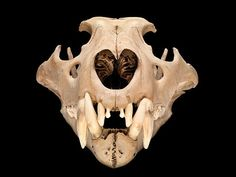 The skull of an extinct north African Barbary lion thought to have lived in the Tower of London around 1280 - 1385 Skull Reference, Photo Reference, Skull Anatomy, Natural History Museum, Bone Jewelry, Animal Bones, Tower Of London, Creature Feature, Animal Skulls