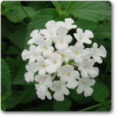 Lantana (White): buy nursery plants online in pune,pimpri chinchwad,mumbai,delhi,banglore,noida,chennai,indore,hyderabad,nasik,baroda,ahemadabad,chandigarh, india - buy nursery plants online in pune,pimpri chinchwad,mumbai,delhi,banglore,noida,chennai,indore,hyderabad,nasik,baroda,ahemadabad,chandigarh, india