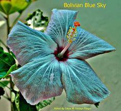 "Hibiscus.""Bolivian Blue Sky""..."