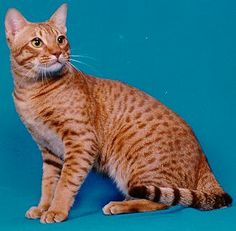 Top 10 Fluffy Cat Breeds List [+Parenting Simplified Tips] Cat Breeds List, Fluffy Cat Breeds, Domestic Cat Breeds, Ocicat, American Shorthair, Cat Pose, Cattery, Cat Photography, Beautiful Cats