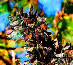 I would love to photograph the migration of Monarch Butterflies