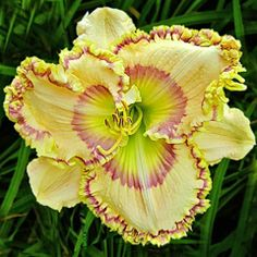 Day-Lily: Hemerocallis 'Charmed Life'