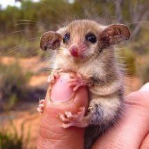 Australian western pygmy possum.