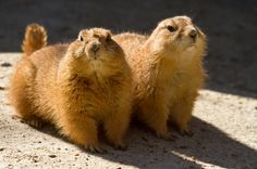 Prairie Dogs by Lorraine Hudgins on 500px