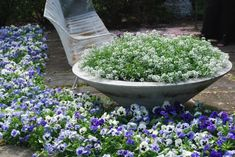 blue pansies and lobelia