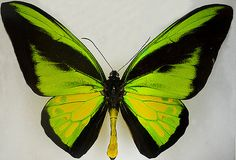 Green Butterfly   Flickr - Photo Sharing!