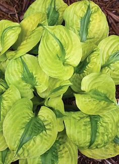 Probably my favorite hosta of all time.  I bought it for an arm and a leg a couple of years ago and it has not thrived.  Others have complained about the same thing, so I know it's not me.  Still, I am heart-broken that it is ailing: Stitch In Time