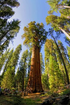The Sherman Tree in Redwood National and State Parks, California United States
