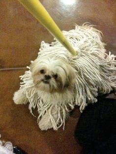 Shih Tzu mop--I love that he's smiling. Such a typical Shih Tzu reaction. Mine was such a sweet, happy, mellow dog. Shih Tzus, Shih Tzu Puppy, Cute Puppies, Cute Dogs, Dogs And Puppies, Doggies, Dog Halloween Costumes, Pet Costumes, Funny Dogs