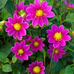 dahlia 'cupido' (dahlia nain simple) : vivaces originaires du