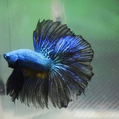 CB049 Blue/Black Halfmoon HM male betta fish
