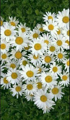 #daisylover!