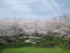 Cherry tree of the Hinoe ruins of a castle park.(MInami-Shimabara,Japan)