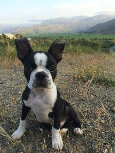Boston Terrier Sits - This is Weiss from Cape Town, South Africa