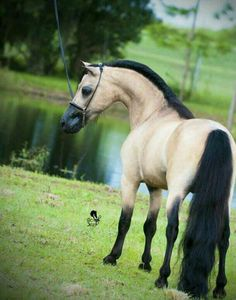 What an awesome colored horse! Buckskin Dunn delight.  I just love this color combo!  Stunning!!