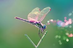 Pink  Winged Dragonfly.