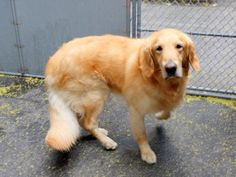 SAFE RTO 6-14-2015 --- Manhattan Center BOBBY – A1039763 MALE, GOLD, GOLDEN RETR MIX, 5 yrs OWNER SUR – EVALUATE, HOLD FOR ID Reason LLORDPRIVA Intake condition UNSPECIFIE Intake Date 06/11/2015