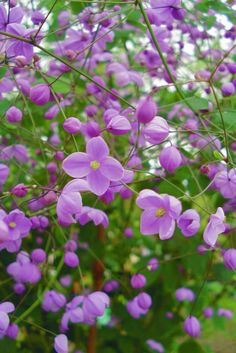 Thalictrum, Pigamon : plantation, culture et association Garden Oasis, Garden Spaces, Beautiful Flowers Garden, Beautiful Gardens, Plantation, Shade Garden, Trees To Plant, Purple Flowers, Shrubs