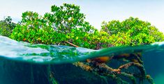 "One answer to human cravings for living at the shore has always been ""filling the swamps."" In many areas of the world, shoreline wetlands of mangroves thrive. These plants live in a world of high s…"