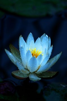 My favorite flower! Lotus Flower Seeds, Lotus Flower Pictures, Blue Lotus Flower, Lotus Flowers, Amazing Flowers, Beautiful Flowers, Lotus Azul, Lotus Pods, Lily Pond