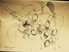 Botanical art drawing császárfa by Gábor Emese