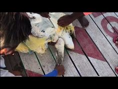 Turtle Entangled in a Fish Net Saved by a Sea plane Pilot Plane And Pilot, Sea Plane, A Sea, Watch Video, Good People, Turtle, Fish, Youtube, Sports