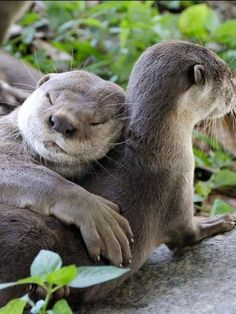 Otter - Fact, Pictures and Information The otter is a small mammal creature that lives both in water and land. There are 13 known types of otter that possess regions all around the globe. Otters Cute, Baby Otters, Baby Sloth, Cute Funny Animals, Cute Baby Animals, Nature Animals, Animals And Pets, Otter Facts, Otter Love
