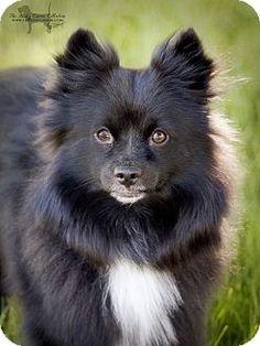American Eskimo Dog/Schipperke Mix Dog for adoption in Nine Mile Falls, Washington - Charlie Adopted