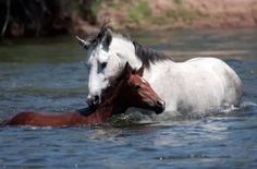 The heart of a horse:  Wild horse saves young horse from drowning (VIDEO) » DogHeirs | Where Dogs Are Family « Keywords: horse, wild horse, filly, stallion