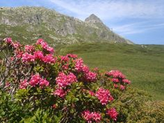 Aletsch Arena - Bettmeralp My Heritage, Beautiful Places, Mountains, Rose, Travel, Switzerland, Pink, Viajes, Roses