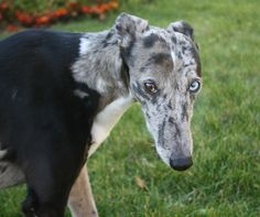 hung like a norse, handsomedogs:   This is Jewels! The greyhound,...