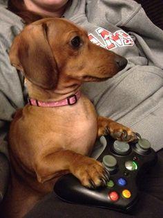 Game on, dog. <3 dachshund love