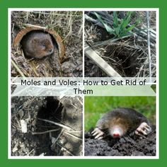 Voles, Moles.  How to Get Rid of Them.  What are your suggestions to get rid of them?