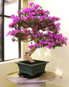 Purple Azalea Bonsai - I'd love to get a Bonsai tree like this one!! I have the perfect place for it even!