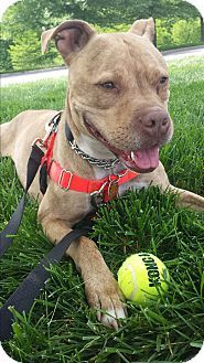 Pit Bull Terrier Mix Dog for adoption in Nashville, Tennessee - Maia