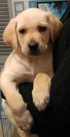 #puppy #labrador #retriever #love #PLUTO