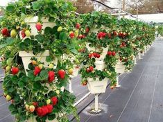 Strawberries are possibly the most irresistible and beautiful fruits. Everything about the strawberry be it color, texture or flavor is appealing which. Harvest Farm, Strawberry Garden, Strawberry Tower, Beautiful Fruits, Hydroponic Gardening, Urban Farming, Garden Planning, Garden Inspiration, Backyard