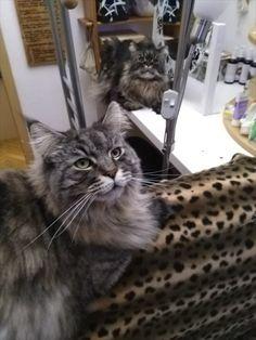 Maine Coon Kater Spirit und Katze Mystery beobachten ihre Menschen Mystery, Cats, Animals, People, Gatos, Animais, Animales, Kitty Cats, Animaux