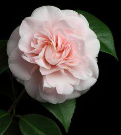 Camellia japonica 'Ave Maria' (U.S., 1953)