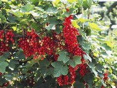 Growing Fruit in Lar