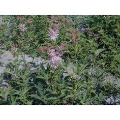 Prärie-Mädesüss   Hauenstein's Pflanzenshop