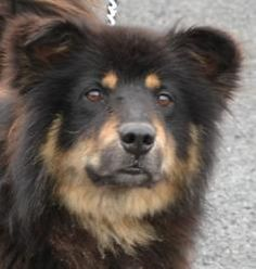 Powell URGENT is an adoptable Chow Chow Dog in Warren, OH. I am such a handsome boy....3 years old, weighing 50 lbs. They think I may have some Shepherd in my mix, but I look mostly Chow. ***Must be 1...