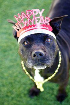 Happy New Year American Pit Bull Terrier Pitbull Staffy Dog, Daschund, I Love Dogs, Cute Dogs, All Small Dog Breeds, Nanny Dog, Pitt Bulls, Dog Games, Pit Bull Love