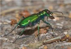 10 Insects That Are Great for Your Garden: Ground Beetles