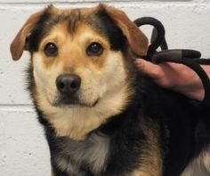 BROOKE COUNTY ANIMAL SHELTER BEECHBOTTOM, WV>>>SID is an adoptable German Shepherd Dog Dog in Beechbottom, WV.    SID s owners have lost their home , and now this beautiful boy finds himself living at our shelter hoping for someone to adopt him ...